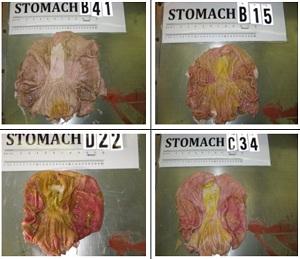 GMO-pig-intestines-300