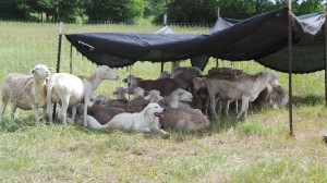BF Sheep 2