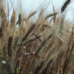 ripe wheat stalks