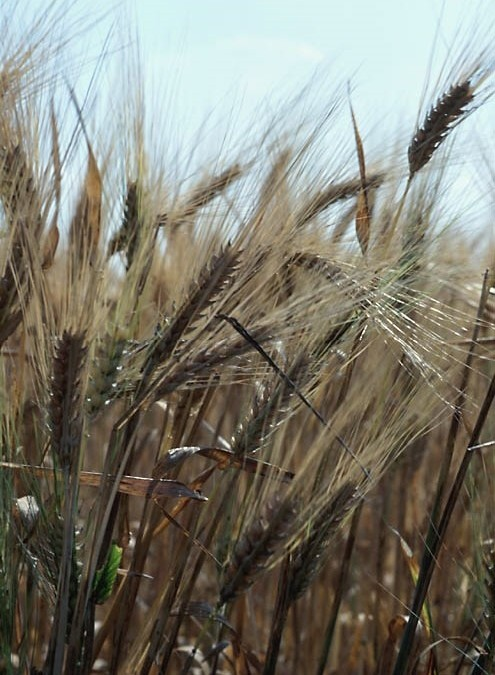 Is Glyphosate (Monsanto's Roundup) Used On Wheat?