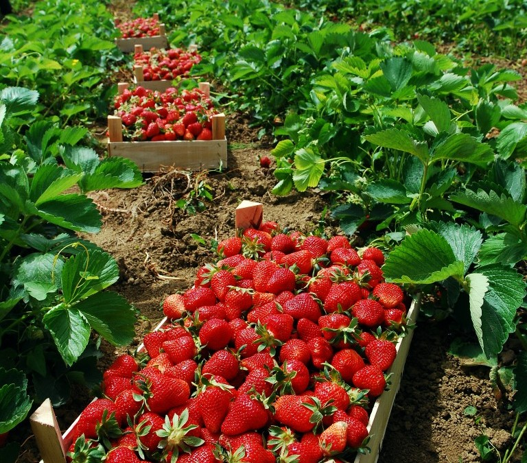 The Dirty Secret Behind Organic Strawberries: Starter Plants Are Fumigated With Pesticides!
